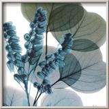 Lilly Of Eucalyptus