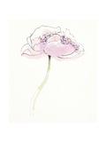 Single Pink Somniferums II on White
