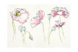 Pink Somniferums