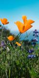 Roadside Coastal Poppies  Spring in Big Sur California Coast