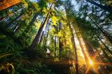 First Forest Light  Sun and Trees  Prairie Coast Redwoods  California Coast