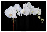 Dramatic Orchids II