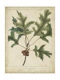 Oak Leaves and Acorns IV