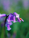 A Lady Bird on a Bluebell Plant