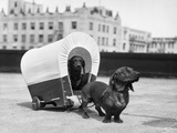 1930S Two Dachshund Dogs One Pulling the Other in Small Covered Wagon