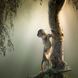 Baby Chacma Baboon Playing in a Tree with Sun-Rays from the Back