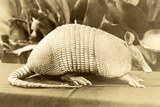 Armadillo Resting on a Table