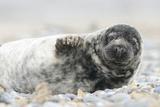 Grey Seal (Halichoerus Grypus)  Pup  Heligoland Düne  Schleswig-Holstein  Germany