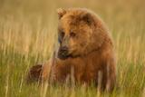 An Alaska Brown Bear Sow Sitting in a Sedge Grass Field Lake Clark National Park  Alaska