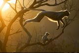 Hanuman Langur Leaping Through the Treetops Bandhavgarh India