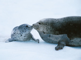 Harbor Seal and Pup  Alaska  USA
