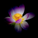 Close Up View of a Blooming Lotus Flower on a Dark Background