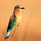 Indian Roller  India