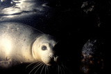 Grey Seals Halichoerus Grypus under Water