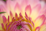 Pink Flower Petals Close Up Macro Detail Pattern Background Dahlia
