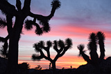 Sunset over a Joshua Tree in the Queen Valley in Joshua Tree National Park  Twentynine Palms  Ca