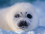 Wild Harp Seal Pup on the Ice the Atlantic Ocean Off the Labrador Coast in Canada