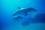 Bottlenose Dolphins  Underwater  Red Sea  Israel