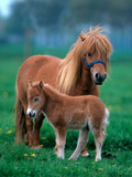 Miniature Shetland Pony Chestnut Mare with Foal Standing on a Pasture Scotland