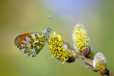 Orange-Tip (Anthocharis Cardamines)  Sits on Willow Catkin  Germany