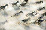 Aerial View of Zebra Herd Running Okavango Delta Botswana