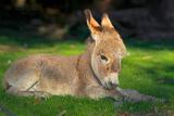 Domestic Donkey (Equus Asinus Asinus)  Foal Lays in a Meadow  Germany  North Rhine-Westphalia