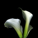 Two Calla Lilies Against a Dramatic Square Black Background