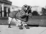 1930S Cocker Spaniel Wearing Glasses Checkered Cape and Leather Shoes