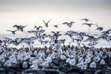 Plovers at Seaside