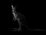 Kangaroo Standing in the Dark with Spotlight