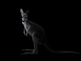 Kangaroo Standing in the Dark with Spotlight Papier Photo par Anan Kaewkhammul