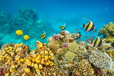 Red Sea - Underwater Diving Picture of Fish over the Coral Reef  Marsa Alam  Egypt