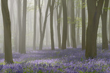 Woodland Filled with Bluebells on a Misty Spring Morning Near Micheldever in Hampshire