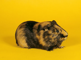 Guinea Pig - Cut Out