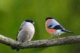 Male and Female Bullfinch Sitting on a Twig