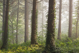 Pine Forest with Early Morning Sunlight  Morchard Bishop  Devon  England Autumn 2014
