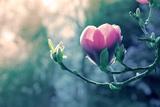Pink Magnolia Blossom