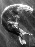 A Sea Lion Underwater with Sunlight Streaming Through Papier Photo par Don Mennig