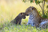 Leopard (Panthera Pardus)  Female  Cuddling with Her Cub  Maasai Mara National Reserve  Kenya