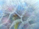 Dandelion (Tragopogon Dubius)  Ontario