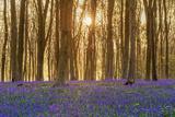 Sunlight Bursting Through Trees Just after Dawn in Beech Woodland Full of Bluebells