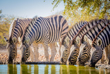 Zebras are Several Species of African Equids United by Distinctive Black and White Striped Coats