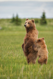 Coastal Brown Bears Standing Up in a Sedge Field in Lake Clark National Park