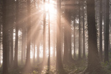 Early Morning Sunshine Streams into a Misty Pine Woodland  Devon  England Autumn 2014