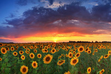Beautiful Field of Sunflowers on the Sunset Background