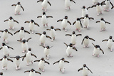 Never Alone and Always in Hurry: Rockhopper Penguins First Have to Cross Sand Flat
