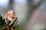 A Red Squirrel on an Old Tree Stump