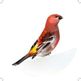 Red Bird  Pine Grosbeak