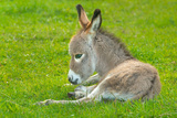 Domestic Donkey (Equus Asinus Asinus)  Foal Rests in a Meadow  Germany  North Rhine-Westphalia