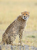 Wild African Cheetah  Beautiful Mammal Animal Africa  Kenya